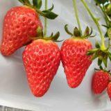 赤崎いちご園のイチゴ狩り2020口コミまとめ!美味しいと評判!割引料金やアクセス情報も