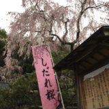 石川県の桜スポット2020!喜多家しだれ桜の開花や見頃はいつ?見所や口コミも!