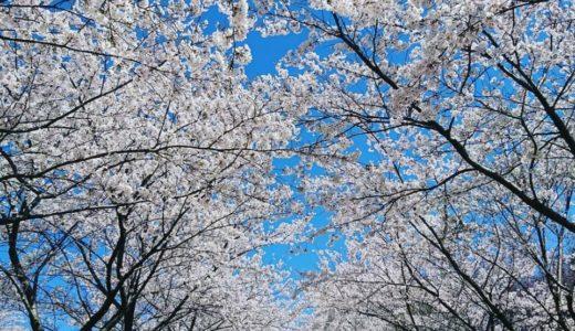 金沢の桜スポット2020!卯辰山の開花や見頃はいつ?見所や口コミも!