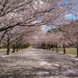石川県の桜スポット2020!加賀市中央公園の開花や見頃はいつ?見所や口コミも!