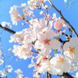 福井の桜2020最新開花予想や満開予想日いつ?見頃はいつまで?